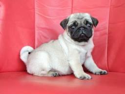 Lindo Filhote de Pug Disponível