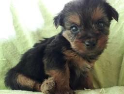 Lindos Filhotes Yorkshire Terrier