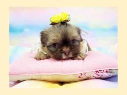 Deslumbrante filhote de shihtzu fêmea de olhos claros - Fotos reais