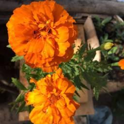 Cravo flor
