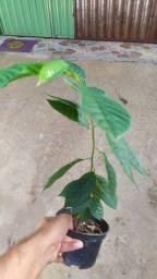 Muda frutífera de Atemoia