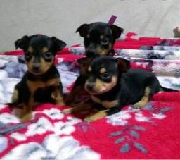 Filhotes de pinscher disponível,R$ 500.contato *