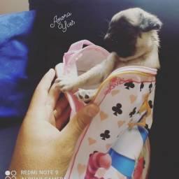 Pug fêmea com pedigree CBKC