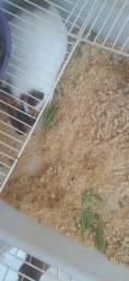 Porquinho da índia com água ração e feno os dois por 150 reais