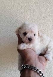 Poodle MICRO TOY filhote fêmea