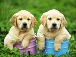 Labrador com garantia de saúde - pedigree
