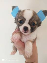 Chihuahua filhotes macho. Alto padrão. Muito pequeno s