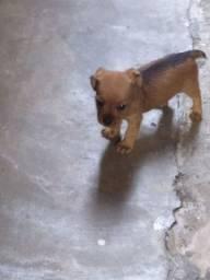 Venda de cachorrinho Mini stzu com Pincher