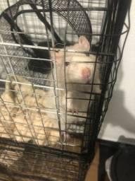 Doação de ratos twister