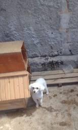 Vendo ? poodle Fêmea