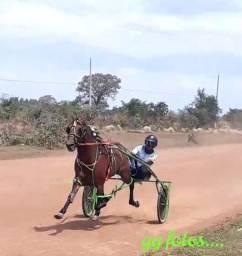 Cavalo American Trotter nacional
