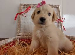 Golden Retriever Fêmea 1700$ com pedigree