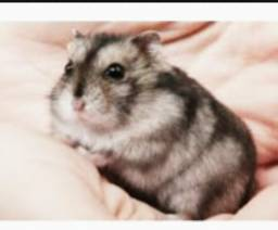 Hamsters (filhotes )