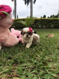 Linda femea de Shih-tzu nascido em 11/03/2021