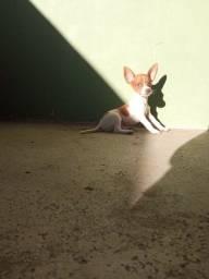 Filhote de Fox paulistinha