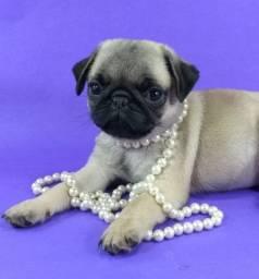 Pug fêmea Linda e Disponível