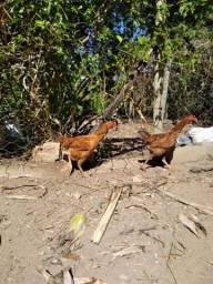 Casal de brama  light e índio gigante com 2 galinhas