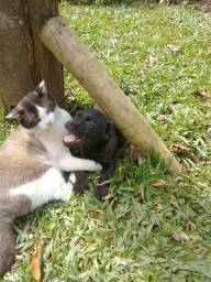 Pug com poodle