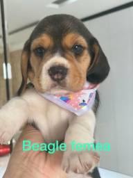 Belíssima fêmea de beagle