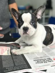 Bulldog Francês filhotes, com garantia de saúde, suporte vet. grátis, raça pura