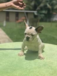 Bulldog francês fêmea Blue Gen