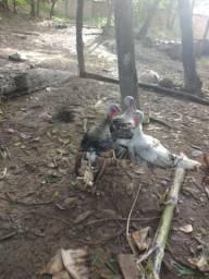 Galinha ganso pato peru franguinhos