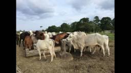 60 Vacas Nelore a 1500 cada