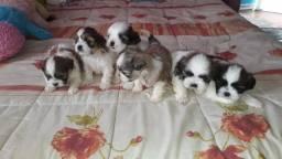 Lhasa Apso machos e fêmeas vacinados e vermifugados, info * Annie