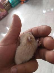 Vendo hamster 40,00 cada