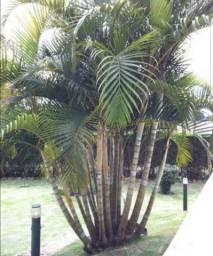 Palmeira areca adultas doação