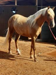 Cavalo Baio 6 anos