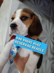 Beagles para reservas