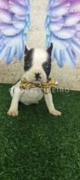 Bulldog Francês macho lindo R$2.400,00