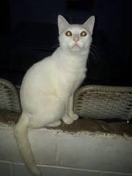 Adoção Responsável Gato Castrado