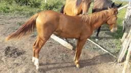 Égua (potra) mestiça de quarto de milha com mangalarga