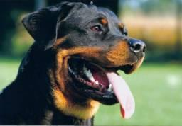 Rottweiler - Ninhada
