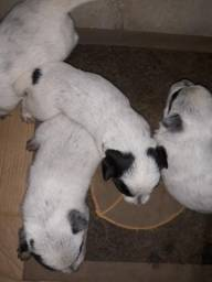 Vendo 4 filhotes de burriler todas 4 fêmeas
