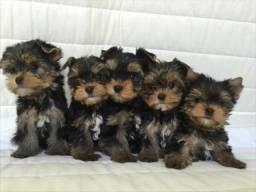 Yorkshire Terrier os menores filhotes What * Priscila