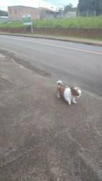 Cachorrinho Pequinês