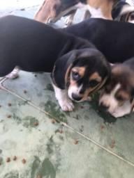 Filhotes fêmeas de beagle