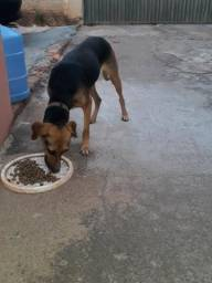 Doação de cadela vira lata