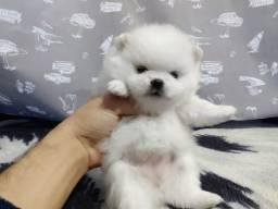 Pomeranian Spitz Alemao