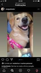 Golden Retriever Com Labrador