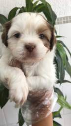 Lhasa Apso oferecemos um suporte veterinário único e gratuito *
