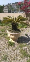 Palmeira de Cica - Sagu