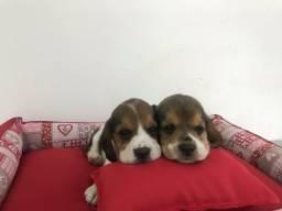 Beagle macho com pedigree