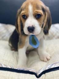 Beagle filhotes fofuras, uma paixão p sua vida!