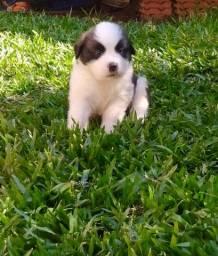 No Da Madre Pet Shop você encontra filhotes de São Bernardo, parcelamos!!