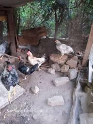 frangos caipiras