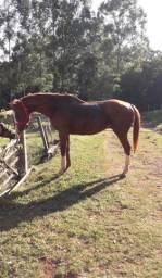 Cavalo Puro Sangue Inglês